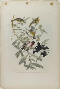 John James Audubon - Rose-breasted Kernbeißer