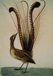John William Lewin - Lyrebird von australien , c . 1810